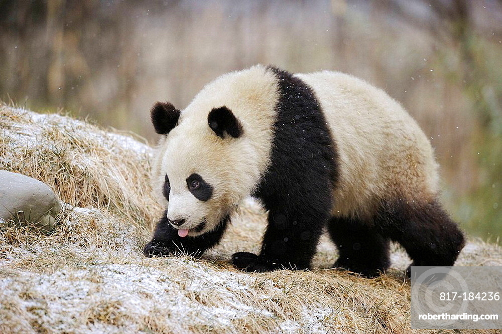 Giant panda (Ailuropoda melanoleuca) Wolong Nature Reserve, China