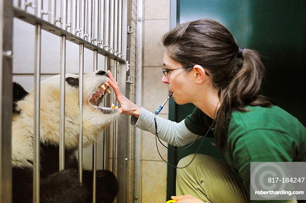 Scientist training with Giant panda, for dental inspection, Zoo Schonbrunn, Austria, 2008 (Ailuropoda melanoleuca)