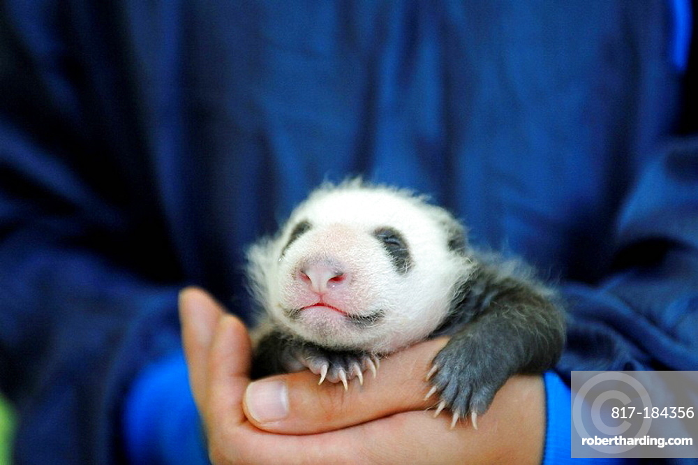 Keeper nursing a 3 weeks old baby panda (Ailuropoda melanoleuca) at Bifengxia Giant Panda Breeding and Conservation Center, Yaan, Sichuan, China