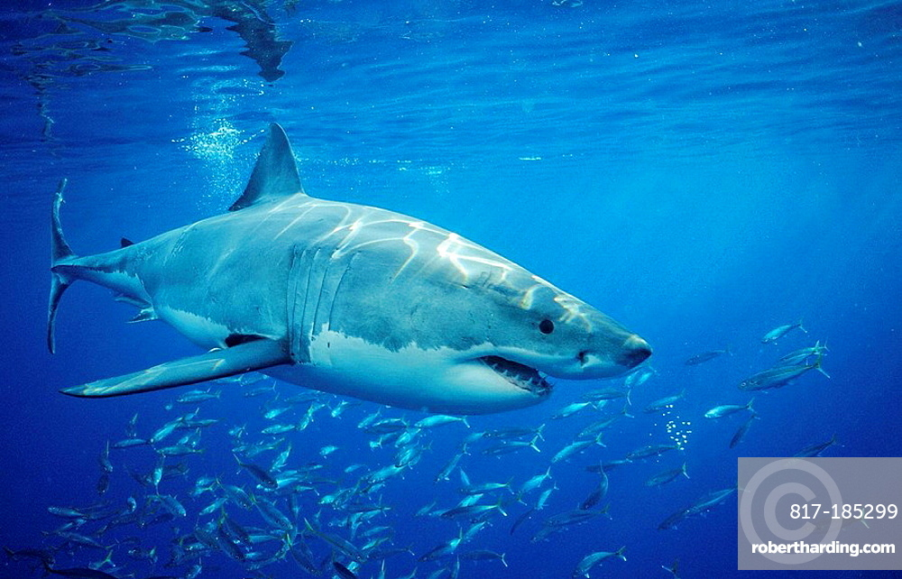 Great White Shark, Carcharodon carcharias, Mexico, Pacific ocean, Guadalupe