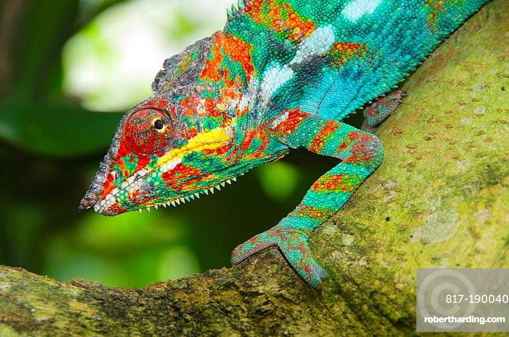 Panther chameleon Furcifer pardalis in Ankarana National Park in Madagascar