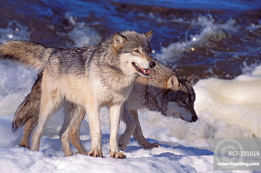 Wolvs on a frouzen River .The Gray Wolf (Canis lupus) also spelled Grey Wolf, also known as Timber Wolf,is a mammal in the order Carnivora, The Gray Wolf shares a common ancestry with the domestic dog