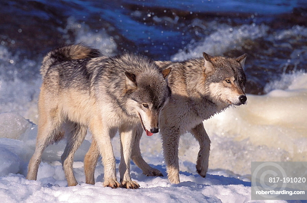 Wolvs on a frouzen River , Gray Wolf (Canis lupus) also spelled Grey Wolf, also known as Timber Wolf,is a mammal in the order Carnivora, The Gray Wolf shares a common ancestry with the domestic dog