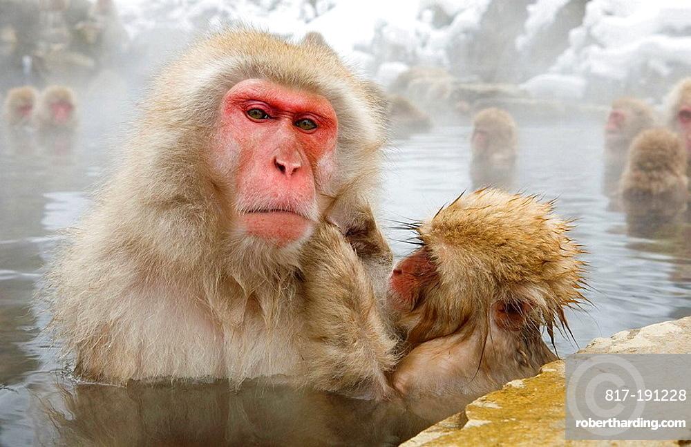 Japanese Snow Monkey (Macaca fuscata)