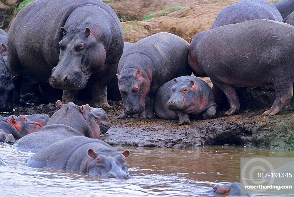 Hippos basking on the banks of the Mara River Hippopotamus amphibius