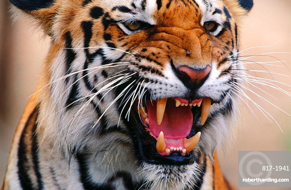 Tiger (Panthera tigris), India