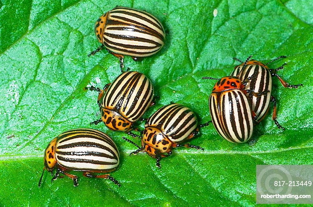Colorado Potato Beetle (Leptinotarsa decemlineata), insect pest