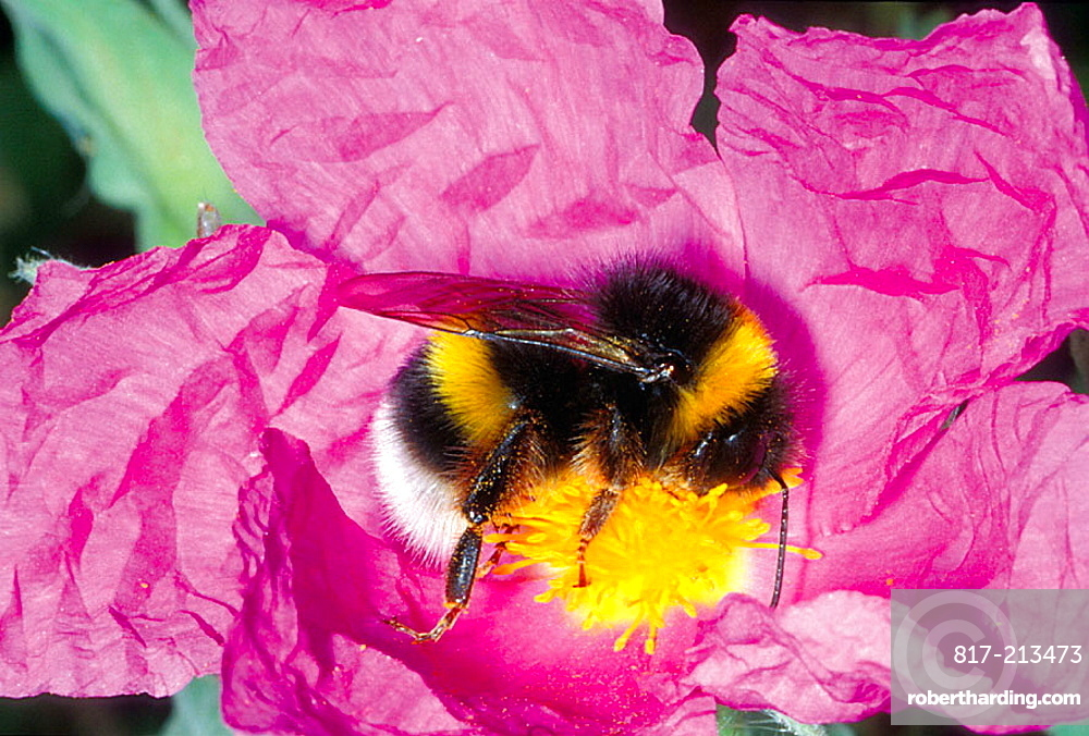 Bumble Bee (Bombus terrestis) Collecting nectar on flower