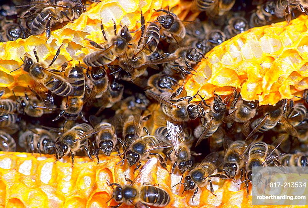 Honey Bees (Apis mellifera) in honeycomb