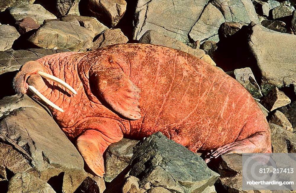 Pacific Walrus Odobenus rosmarus divergens  Round Island, Alaska, USA, North America