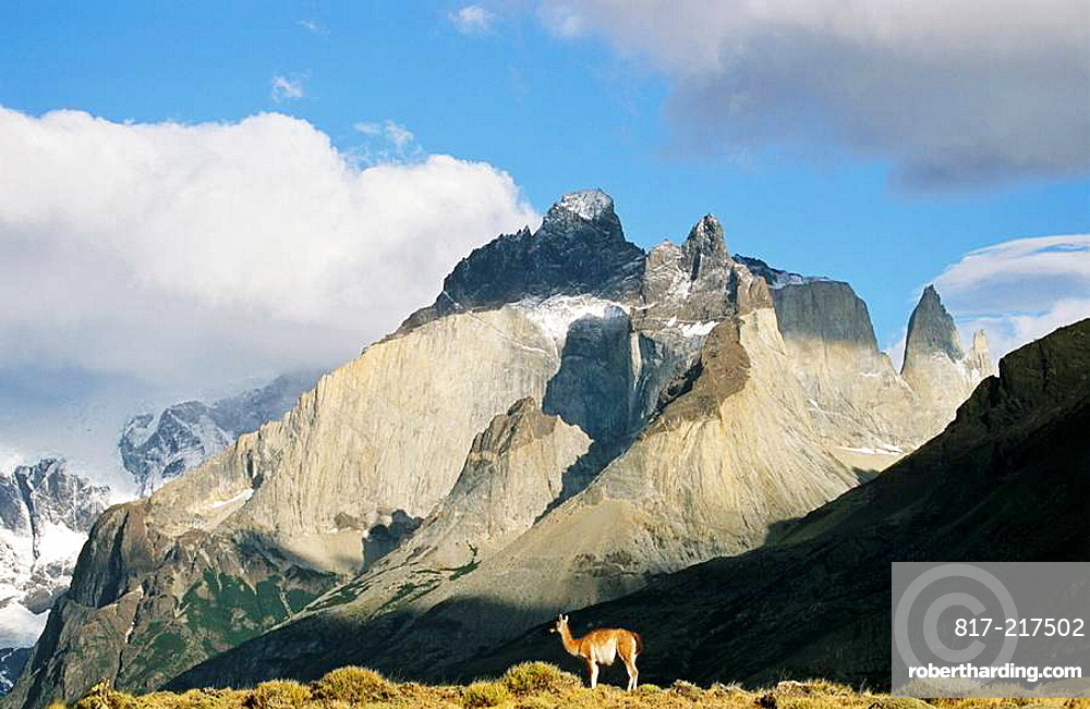 Guanaco Lama guanicoe standing with the landmark Cuernos del Paine in the background, Chile   Guanaco is a camelid and closely related to the domestic Lama and Alpaca  America, South America, Chile, November 1999