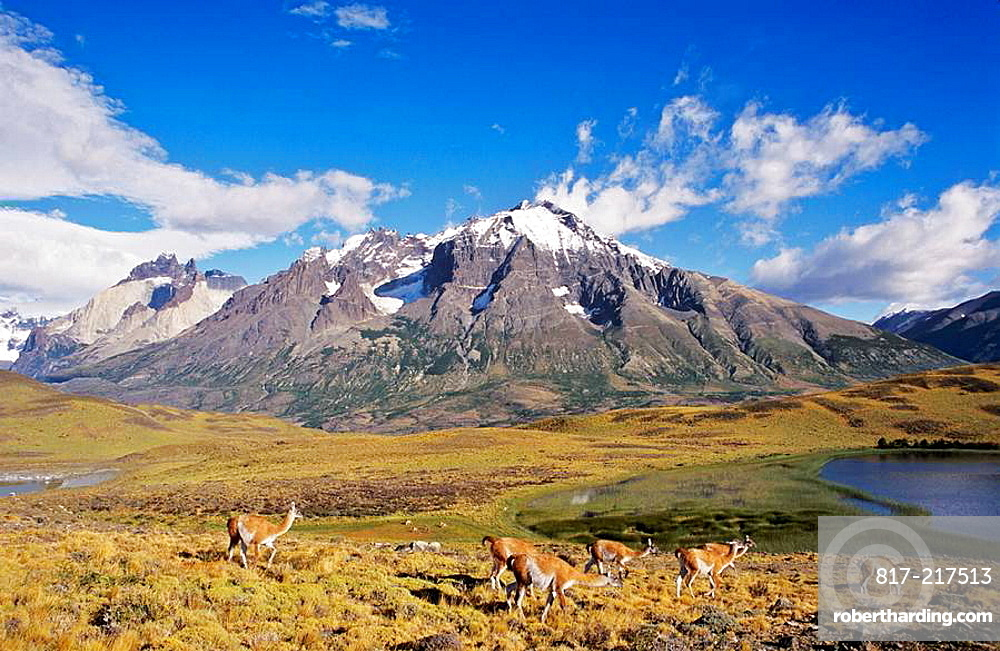 Guanaco Lama guanicoe herd with the landmark Cuernos del Paine in the background,Chile   Guanaco is a camelid and closely related to the domestic Lama and Alpaca  America, South America, Chile, November 1999