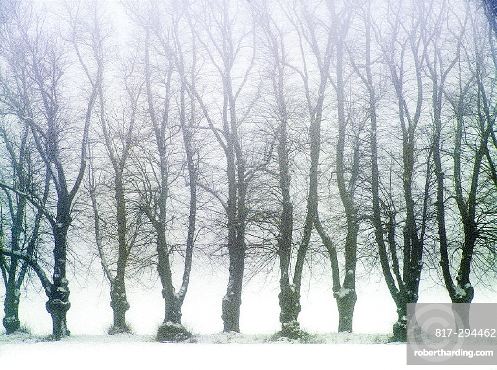 Alley, trees, landscape, fog, row, snow, Sweden, Europe, Uppland, Winter. Alley, trees, landscape, fog, row, snow, Sweden, Europe, Uppland, Winter
