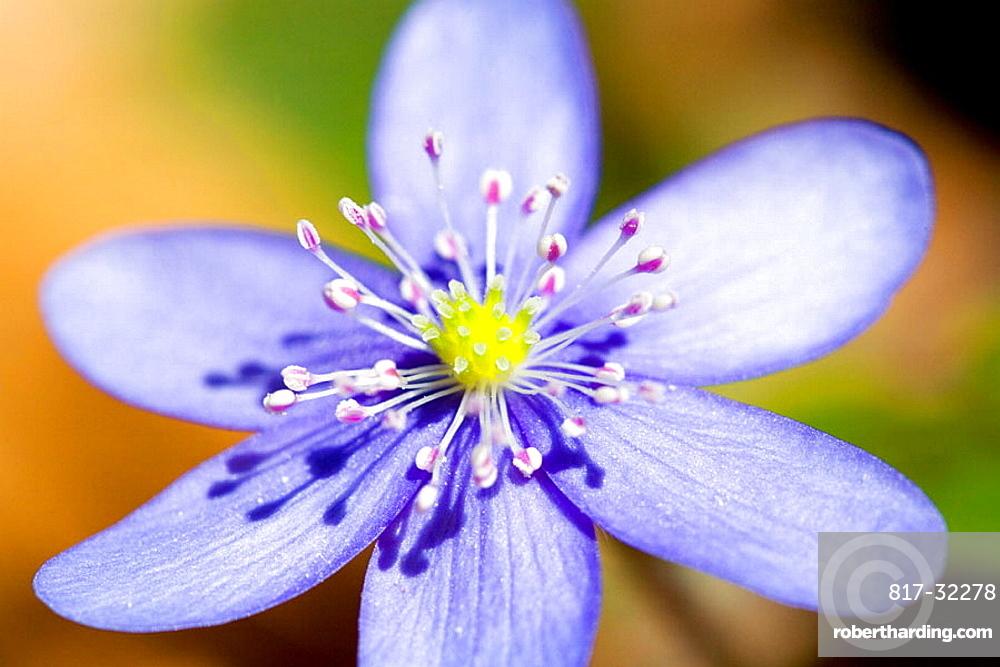Liverwort, type of plant