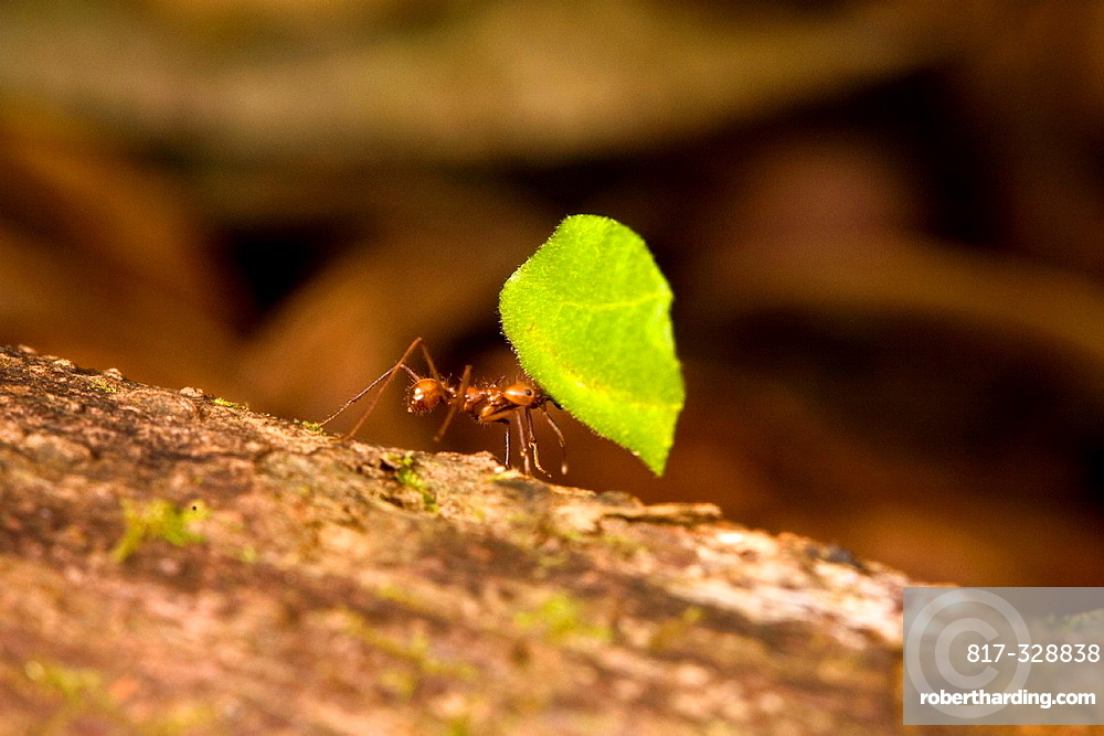 Leaf-cutter ant Atta cephalotes carrying a leaf to it's nest in the Osa Peninsula, Costa Rica