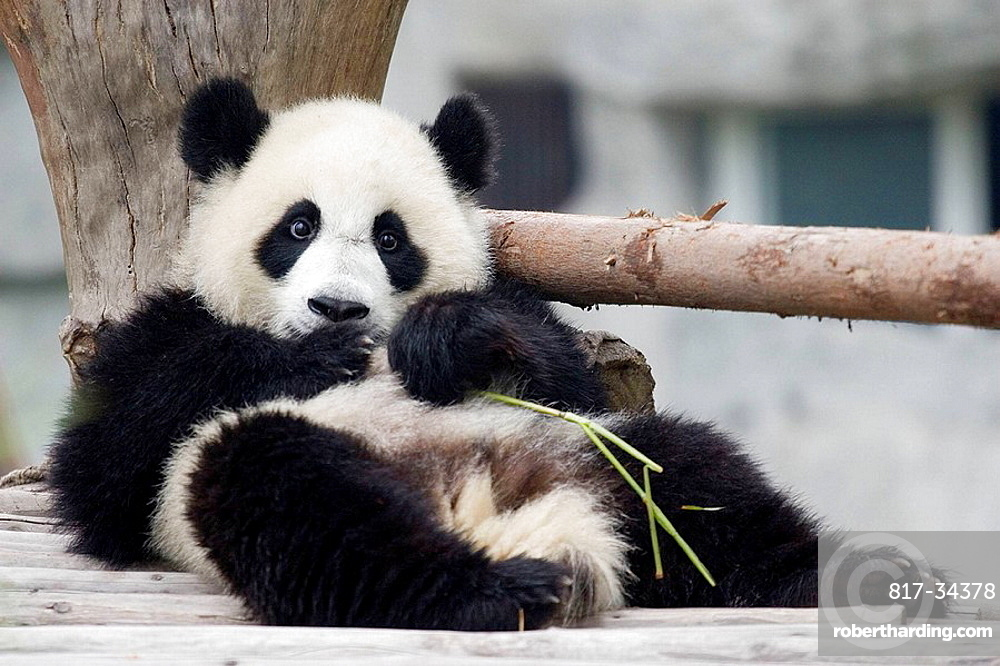 Panda in the Wildlife Recovery Center of Chengdu, Sichuan, China