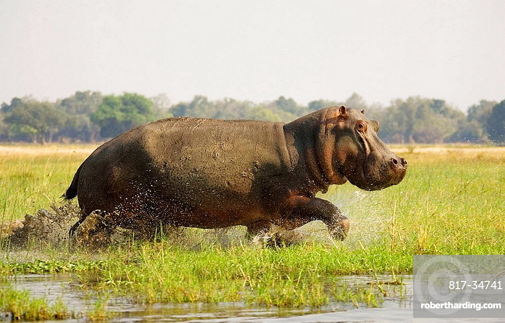 Hippopotamus (Hippopotamus amphibius), Startled bull running through the shallow water at a grassy island in the Zambezi River, On the opposite side of the river the Mana Pools National Park in Zimbabwe, Lower Zambezi National Park, Zambia.