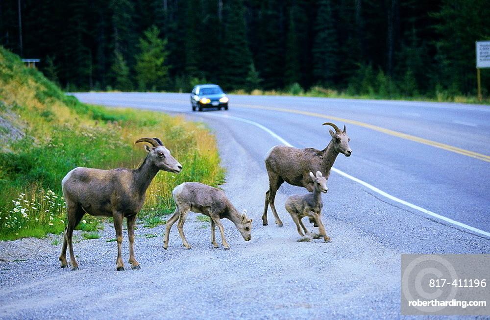 Bighorn Sheep Rocky Mountains Alberta Canada.