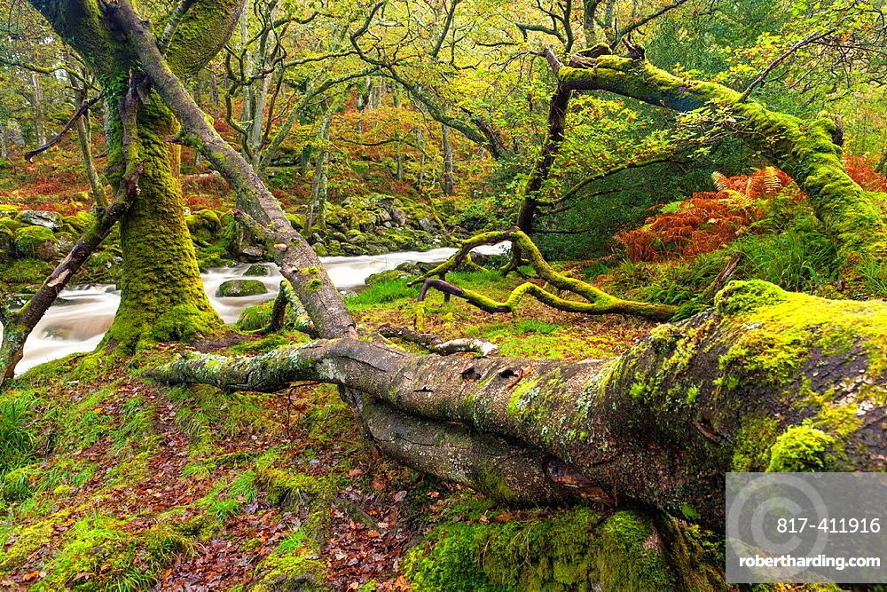 Dewerstone Wood near Shaugh Prior in Dartmoor National Park, Devon, England, UK, Europe