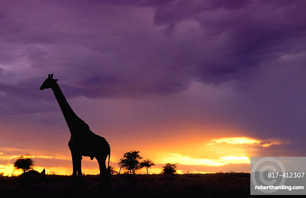 Colorful sunset late afternoon image of safari in Kenya Africa with wild giraffe roaming the jungle