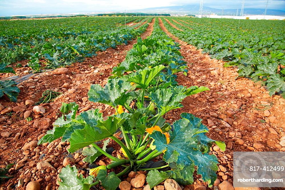 Courgette growing fields, Agricultural fields, High Ribera, Arga-Aragon Ribera, Navarre, Spain.