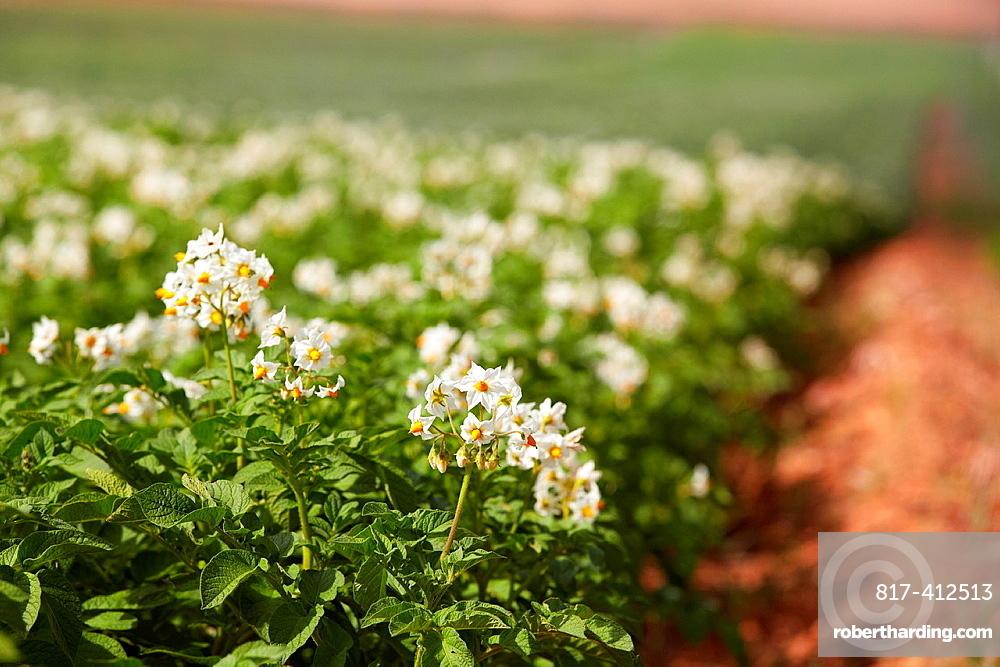 Potato growing field, Agricultural fields, High Ribera, Arga-Aragon Ribera, Navarre, Spain.