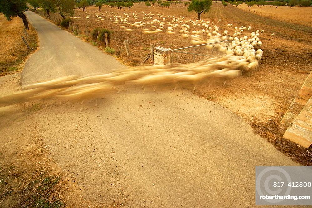 Flock of sheep crossing the road are Son Brondo, Lloret de Vistalegre, Es Pla, Mallorca, Spain Balearic Islands