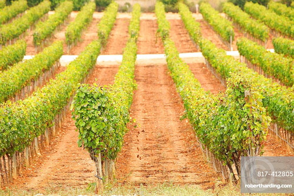 Macia Batle vineyards, Santa Maria, Raiguer, Mallorca Balearic Islands Spain