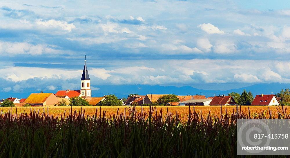 Bischwihr village through a maize field, Alsace, Haut-Rhin, France