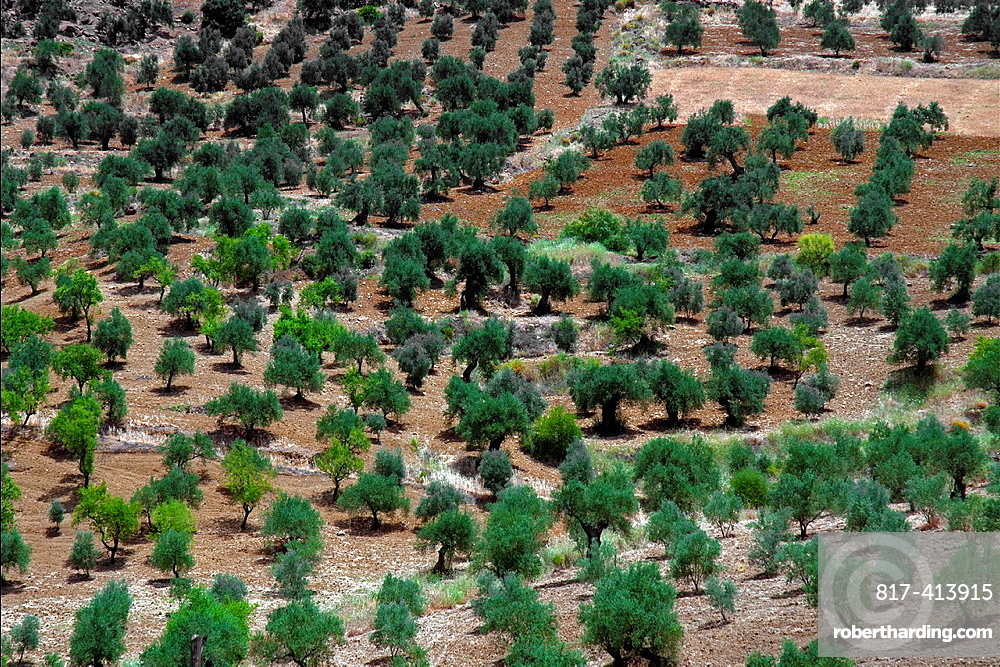 Olive Trees, Andalusia, Spain