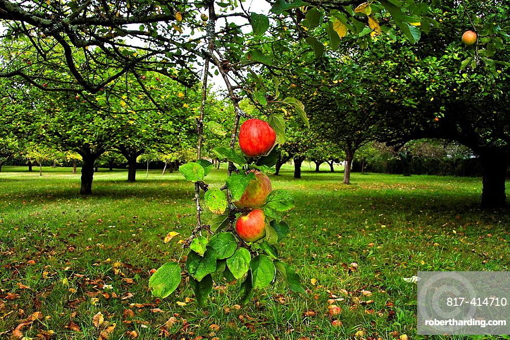 Reds apples on a tree, Asturias, Spain