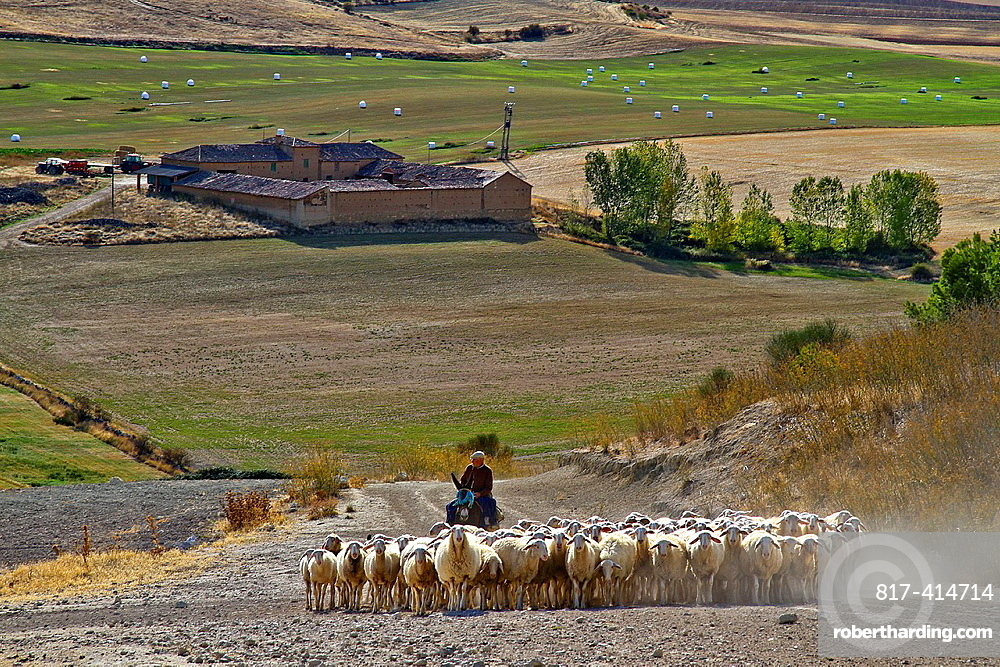 Flock sheep, dogs, and Shepherd riding a donkey, near Uruena, Castile and Leon, Spain