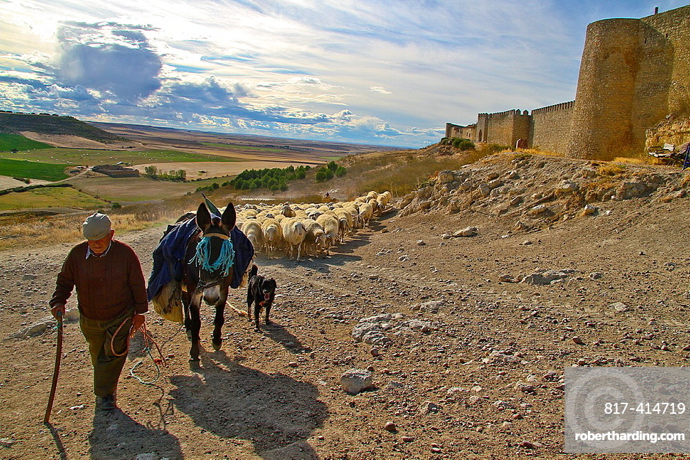 Flock sheep and Shepherd with a donkey and dogs, near castle wall Uruena, Castile and Leon, Spain