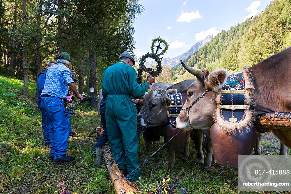 Cows returning from their summer pastures in the mountains for winter Almabtrieb in the valley of Martell val martello the cows are decorated by the herdsmen at the gathering place At the end of summer the cows are driven back in a cow train cow parade. Cows returning from their summer pastures in the mountains for winter Almabtrieb in the valley of Martell val martello the cows are decorated by the herdsmen at the gathering place At the end of summer the cows are driven back in a cow train cow parade or cow convoy to the valleys from their summer pastures Due to old traditions the cows are decorated with elaborate floral head adornments headdress and they are wearing their huge cerimonial bells Europe, Central Europe, Italy, South Tyrol, September 2012