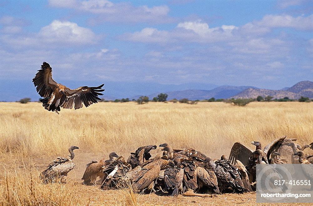 Ruppells Vulture, gyps rueppelli, Group eating Wildebeest Carcass, Masai Mara Park in Kenya