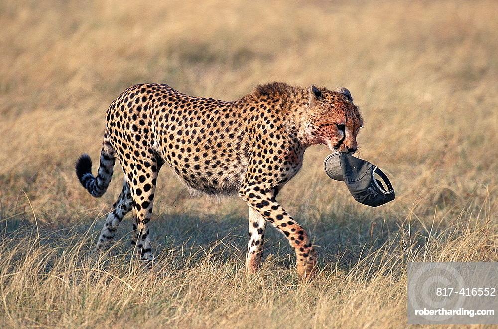 Cheetah, acinonyx jubatus, Adult wit Tourists Cap in its Mouth, Masai Mara Park in Kenya