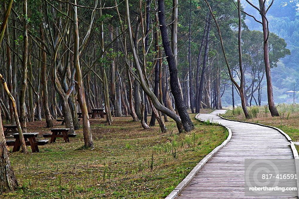 Eucaliptus Walk at Rodiles beach, Asturias, Spain