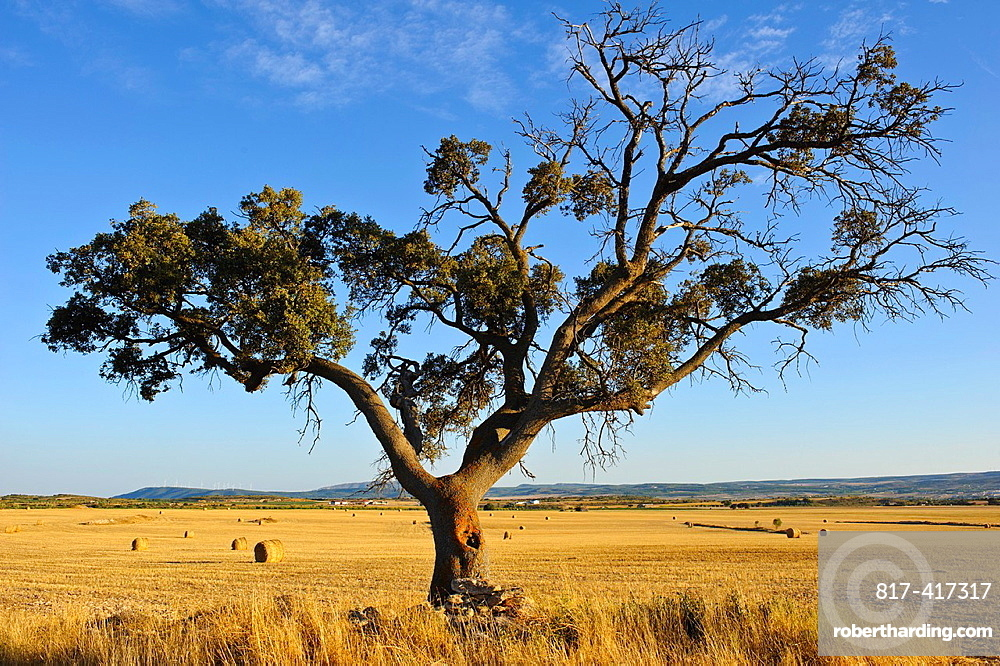 Oaks Quercus ilex and cereal field Almansa Albacete.
