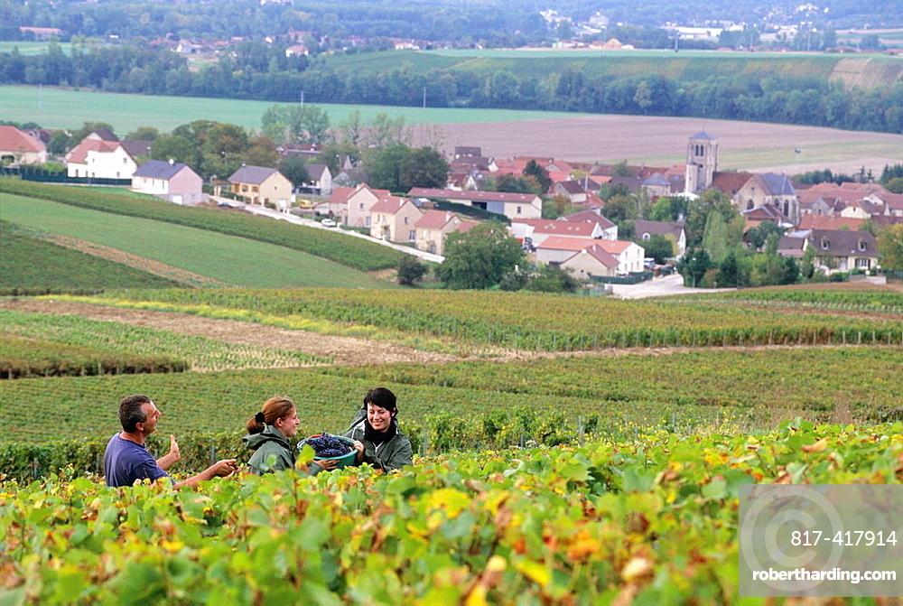 Grape harvest in Cote des Bars vineyard around Celles-sur-Ource, , Aube department, Champagne-Ardenne region, France, Europe