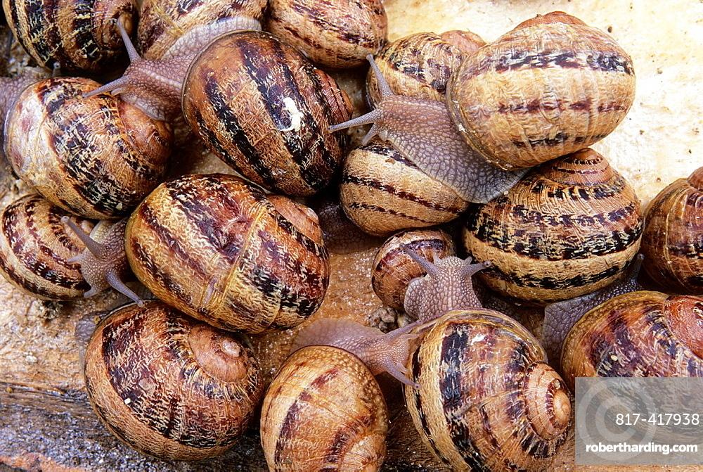 Snails, Helix Aspersa Maxima, Aube department, Champagne-Ardenne region, France, Europe