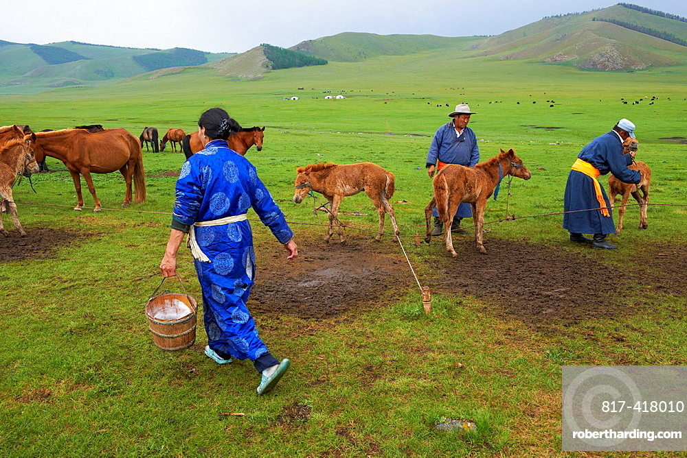 Mongolia, Ovorkhangai province, Okhon valley, Nomad camp, Rallying of horses drove