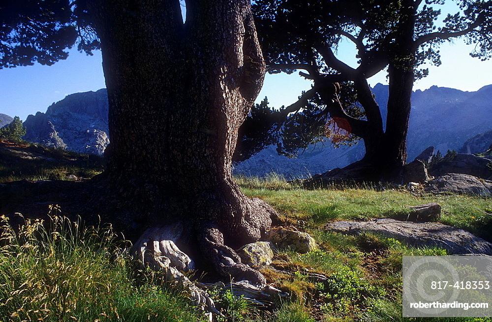 Black pine Pinus Uncinata, near `Estanys de Amitges¥Amitges lakes,Aiguestortes i Estany de Sant Maurici National Park,Pyrenees, Lleida province, Catalonia, Spain