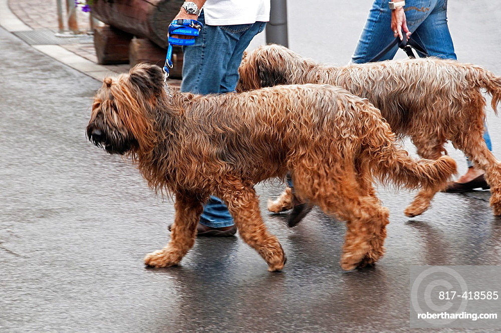 Two dogs walking out, pure breed, Berger de Brie, Briard