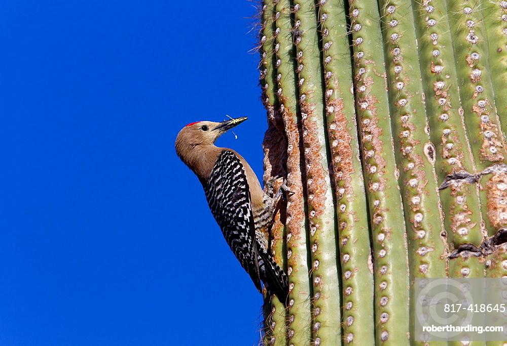 Gila Woodpecker Melanerpes uropygialis in the nesting hole in Giant Saguaro Carnegiea gigantea, Sonora desert, Saguaro National Park, Tucson, Arizona, USA