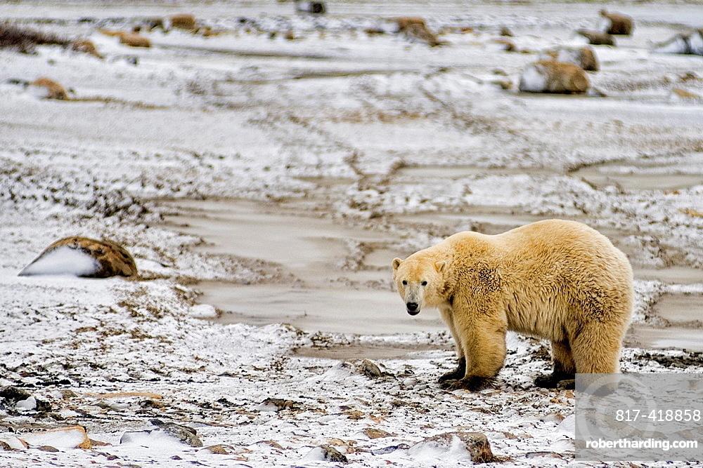 Curious Polar Bear close encounter as bear walks close by people at Churchill Manitoba Canada