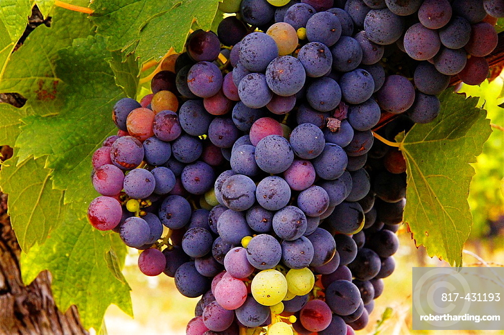 France-Aquitaine- Gironde- wine grappes of 'merlot' at Castillon, in the Bordeaux wines district.