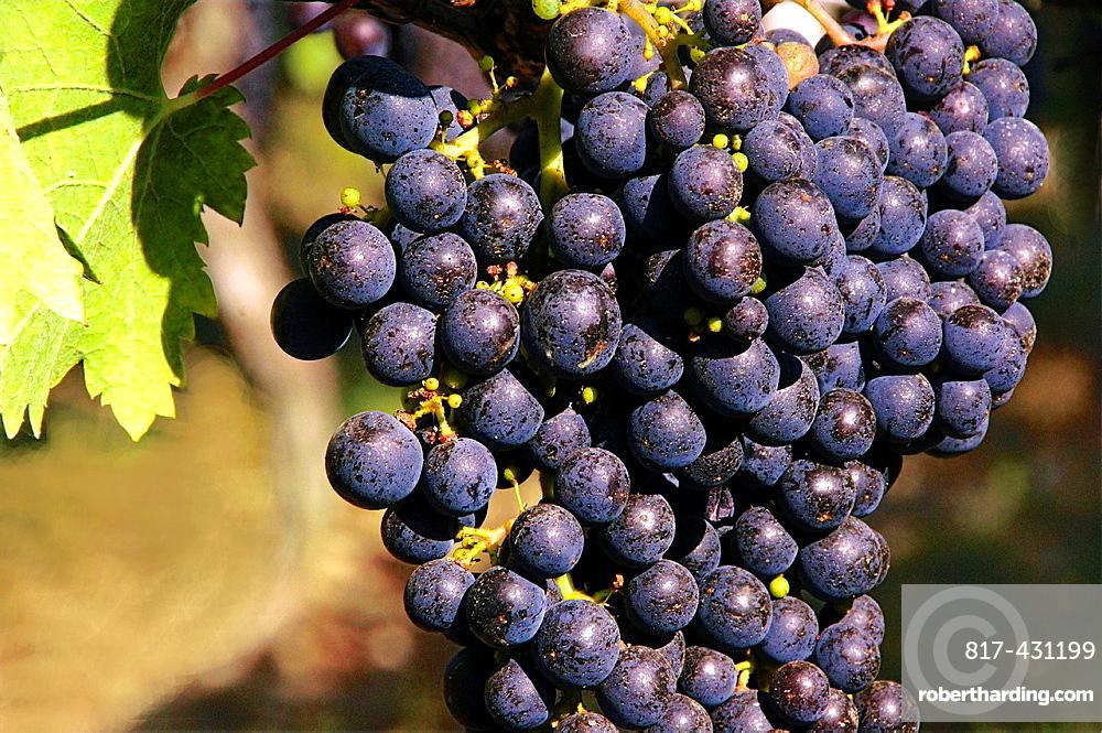 France, Aquitaine, Gironde, 'Merlot' wine fruits, Bordeaux wines district.