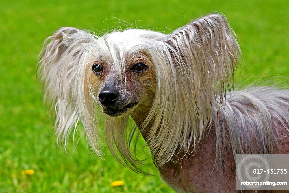 France , Bas-Rhin , Thanville , Chinese Crested Dog Canis lupus familiaris.