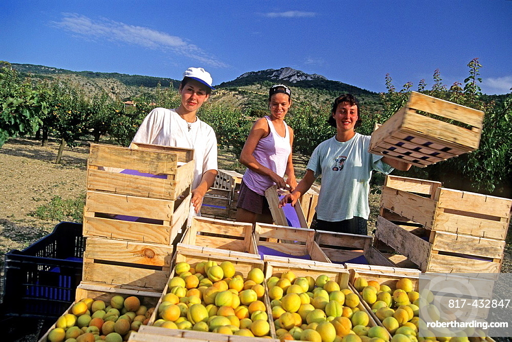 apricot picking, Drome department, region of Rhone-Alpes, France, Europe