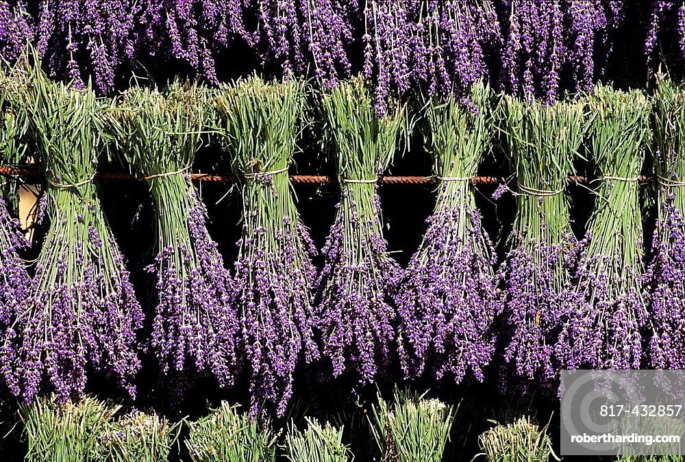 Lavandula angustifolia manual harvesting for bunch, Drome department, region of Rhone-Alpes, France, Europe